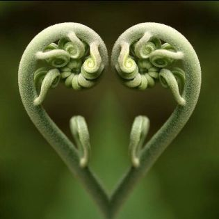 heart ferns