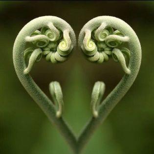 heart ferns